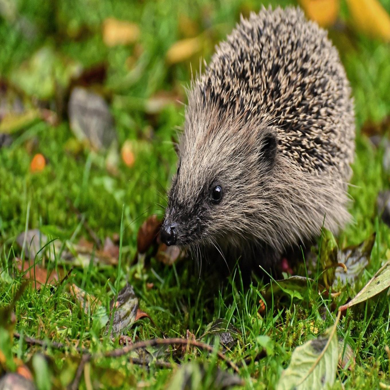 A hedgehog in the grass
